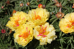 Portulaca grandiflora 'Flore Pleno'. Cultivar with double flowers with yellow and pink tones royalty free stock photo
