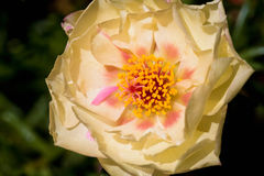 Portulaca Grandiflora Royalty Free Stock Images