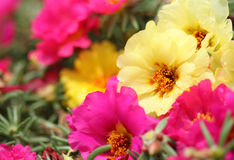 Portulaca grandiflora flower Royalty Free Stock Photography