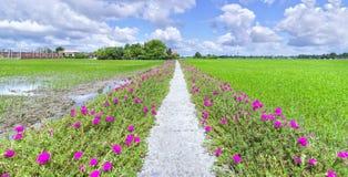 Portulaca grandiflora flower blooming on the roadside land Stock Photos