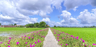 Portulaca grandiflora flower blooming on the roadside land Royalty Free Stock Image