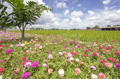 Portulaca grandiflora flower blooming on roadside land Royalty Free Stock Images