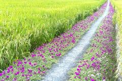 Portulaca grandiflora flower blooming on roadside land Royalty Free Stock Photos