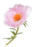 Portulaca grandiflora Royalty Free Stock Photography
