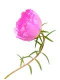 Portulaca grandiflora Stock Image