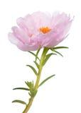 Portulaca grandiflora flower Royalty Free Stock Photo