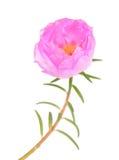 Portulaca grandiflora flower Stock Image