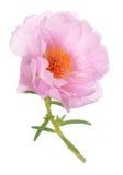 Portulaca grandiflora flower Royalty Free Stock Photography