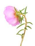Portulaca grandiflora flower Stock Images