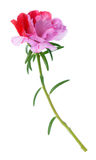 Portulaca grandiflora flower Stock Photography