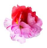 Portulaca grandiflora flower Royalty Free Stock Image
