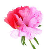 Portulaca grandiflora flower Royalty Free Stock Photos