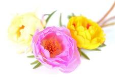 Portulaca grandiflora Stock Images