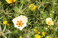 Portulaca grandiflora. In full bloom Royalty Free Stock Photo