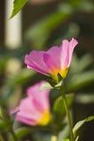 Portulaca grandiflora, horloge de ` d'onze o, horloge de ` de dix o Photographie stock libre de droits