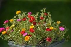 Portulaca grandiflora kwiaty obraz stock