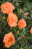 Peach Moss Rose rock garden flower. Portulaca Grandiflora Moss Rose, parts are poisonous. Moss roses are adapted to dry, desert-like conditions stock photo