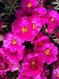 Portulaca Grandiflora Moss Rose Plant Blossoming with Pink Flowers in South Daytona, FL. Stock Photography