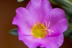 Portulaca grandiflora, orologio del ` di undici o, orologio del ` di dieci o Immagini Stock