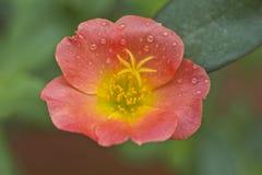 Portulaca grandiflora, orologio del ` di undici o, orologio del ` di dieci o Fotografie Stock Libere da Diritti