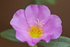 Portulaca grandiflora, orologio del ` di undici o, orologio del ` di dieci o Fotografia Stock Libera da Diritti