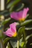 Portulaca grandiflora, orologio del ` di undici o, orologio del ` di dieci o Immagine Stock Libera da Diritti