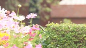 Portulaca grandiflora (pourpier de Mousse-rose ou Mousse-rose), famille banque de vidéos