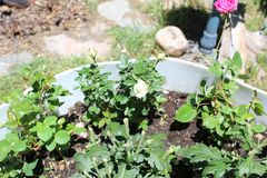 Rose moss Portulaca grandiflora b stock photo