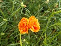 Portulaca Grandiflorablume Lizenzfreie Stockbilder