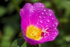 Portulaca kwiat z wody kroplą Obraz Stock