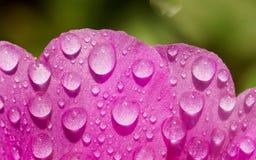 Portulaca kwiat z wody kroplą Obrazy Stock