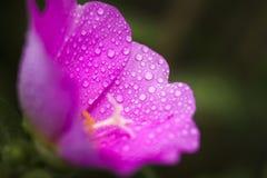 Portulaca kwiat z wody kroplą Zdjęcia Royalty Free