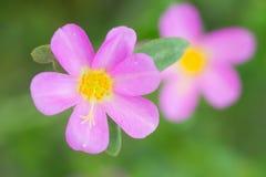 Portulaca kwiaty Fotografia Stock