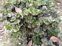Portulaca Molokiniensis fotografia de stock