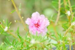 Portulaca, Moss Rose, Sun plant, Sun Rose,purslane,pussley flowe Stock Images