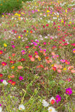 Portulaca multiple colorful Royalty Free Stock Photo