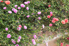 Portulaca oleracea blooming in the garden. Stock Photos