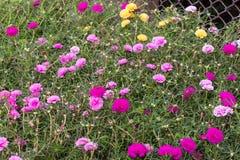 Portulaca oleracea blooming in the garden. Stock Photography