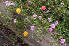 Portulaca oleracea blooming in the garden. Royalty Free Stock Photos