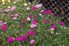Portulaca oleracea blooming in the garden. Stock Photo