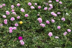 Portulaca oleracea blooming in the garden. Royalty Free Stock Photo