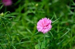 Portulaca-oleracea Blume Sch?nen Thailands Blume stockbilder