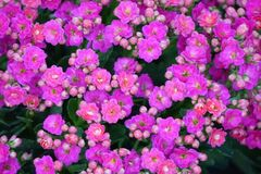 Portulaca oleracea. Common Purslane, Verdolaga, Pigweed, Little Hogweed Royalty Free Stock Photos