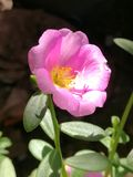Portulaca Oleracea Royalty Free Stock Photos