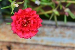 Portulaca oleracea flower grandiflora in a garden Stock Photos