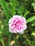 Portulaca oleracea flower in nature garden. Pink portulaca oleracea flower in nature garden Stock Image