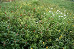 Portulaca oleracea kwiaty fotografia royalty free