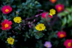 Portulaca-oleraceae Lizenzfreies Stockfoto