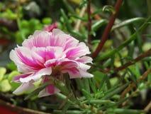 Portulaca Rosa Imagem de Stock Royalty Free