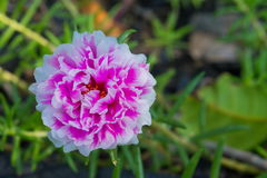 Portulaca Rosemoss Photo stock
